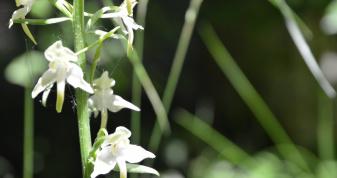 У воротнівському лісі квітнуть рідкісні орхідеї