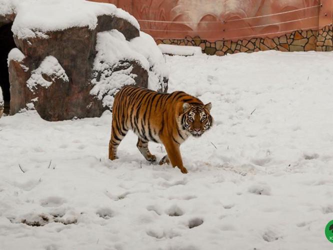 Зимова «киця» у Луцькому зоопарку
