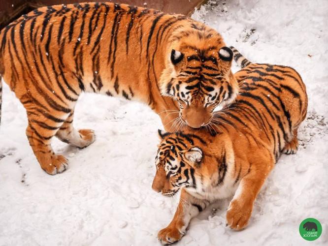 Тигри