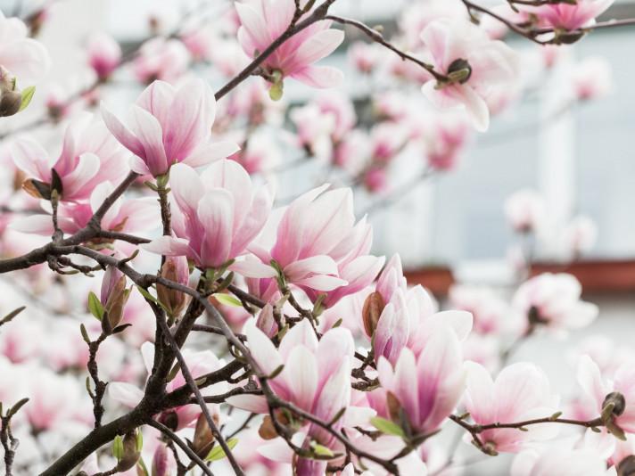 Чарівний цвіт магнолії