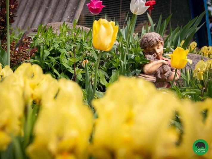 Тюльпани в Луцькому зоопарку