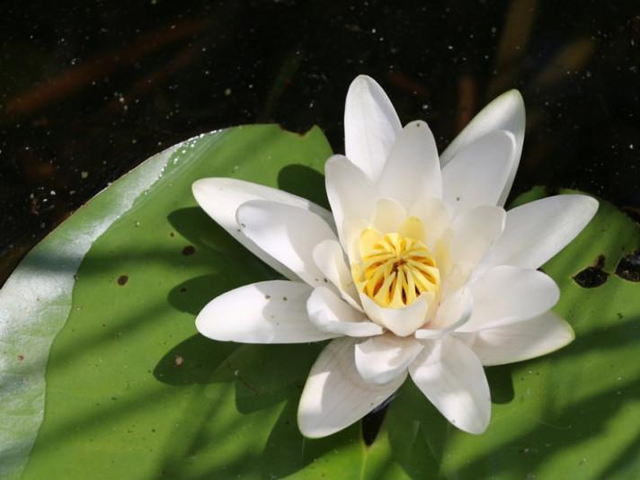 Цвіт латаття