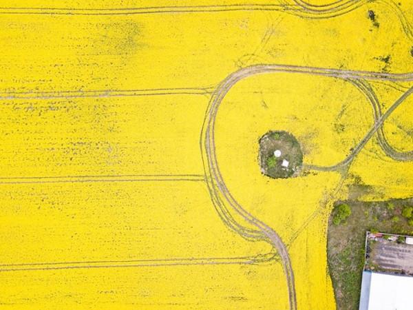 «Десятки гектарів жовтизни»: ріпакові поля під Луцьком з висоти пташиного польоту