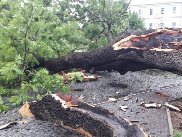 У Луцьку впало знамените дерево – Лесин ясен - Район Луцьк