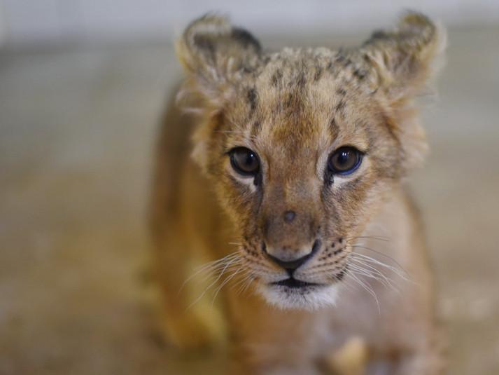 У Луцькому зоопарку з'явилася п'ятимісячна левиця