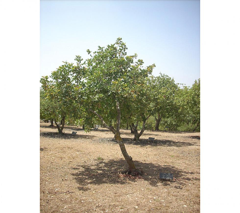 Дерево на честь Вітольда Фоменка, рятівника євреїв у Луцьку