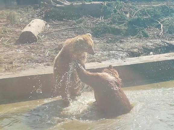 Ведмеді приймають водні процедури після затяжного сну
