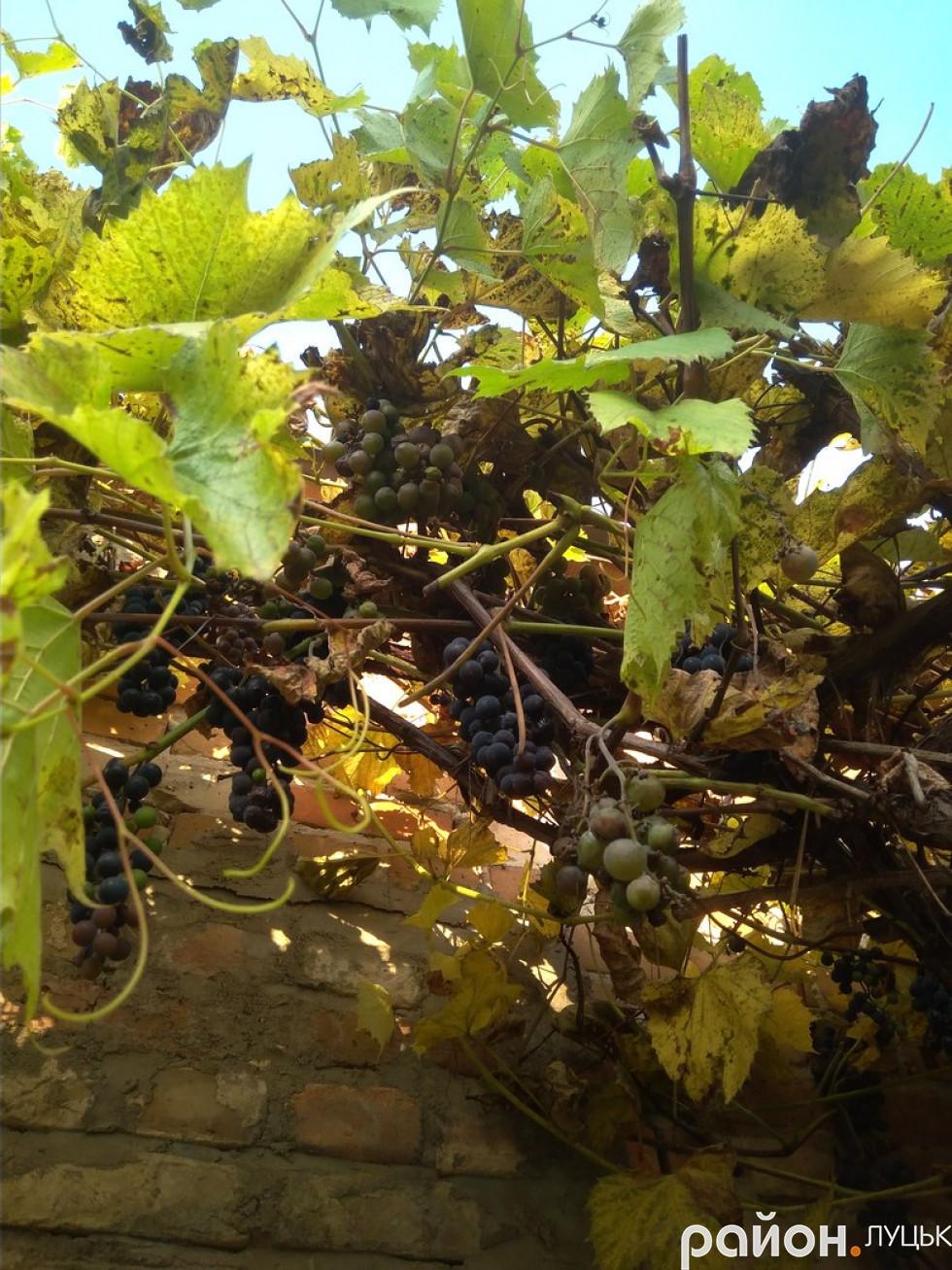 Смачний виноград мешканців будинків
