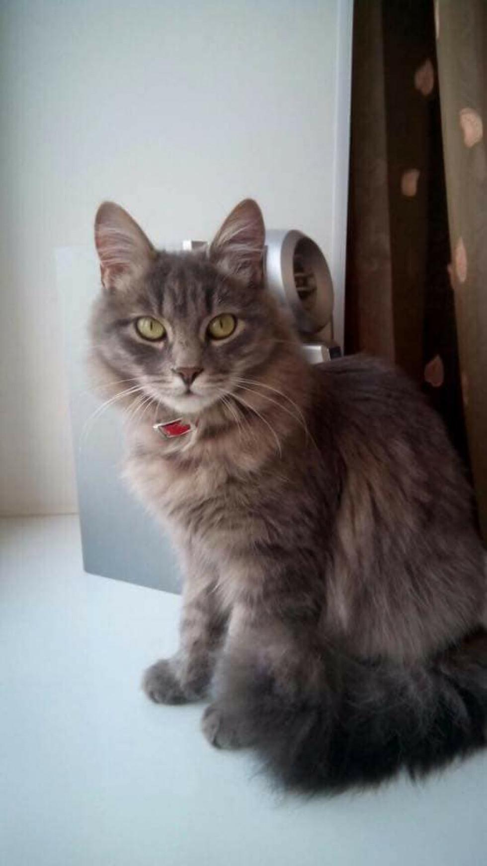 Кішка сірого окрасу і з зеленими очима