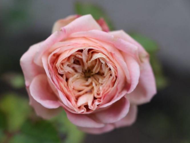 Ніжно-рожева троянда