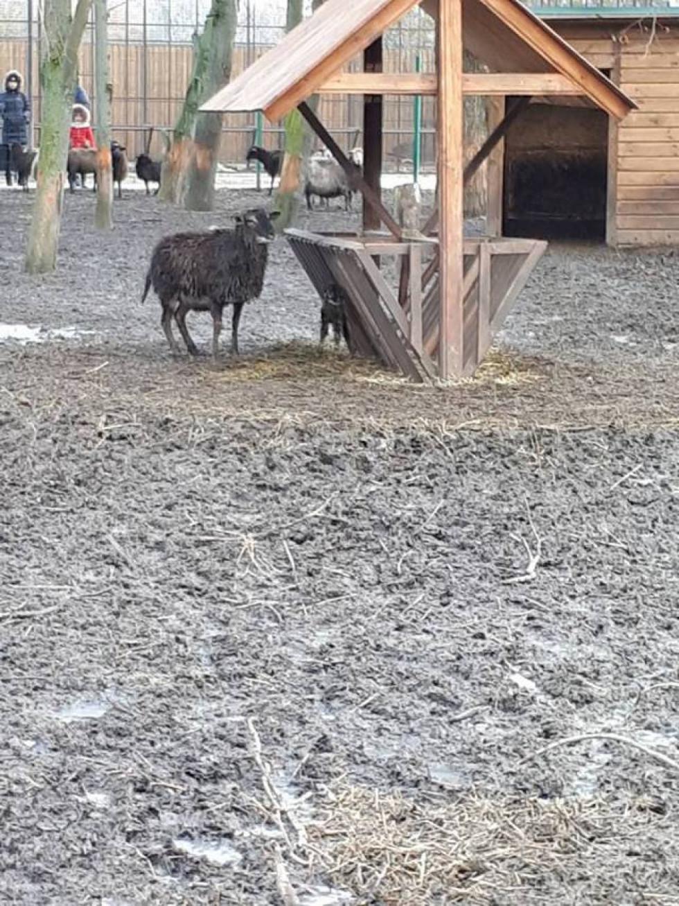 Щаслива мати-вівця