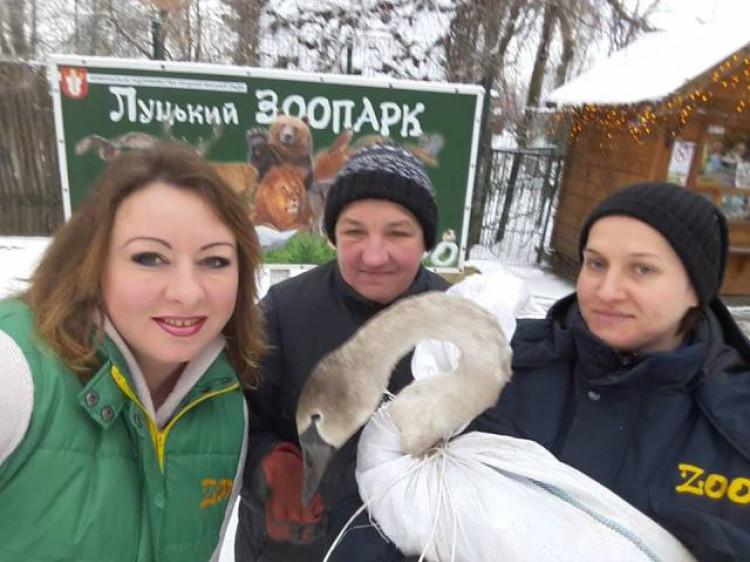 Врятували лебедя