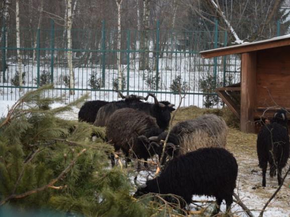 Ялинки у Луцькому зоопарку