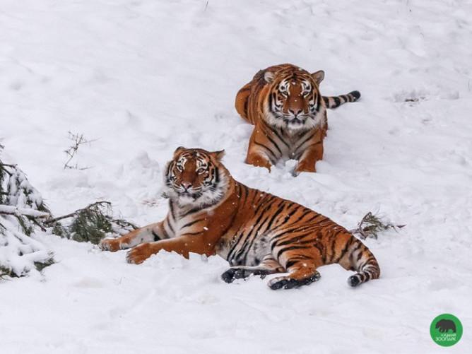 Тигри Тамерлан і Аїда
