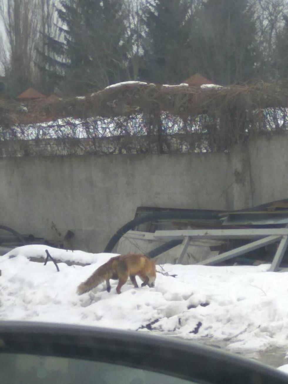 Чоловік бачив лисицю на території цукрового заводу вперше