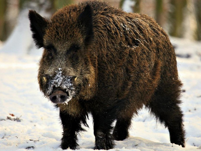 Дика свинка мешкатиме у лісництві, поки не підростуть маленькі