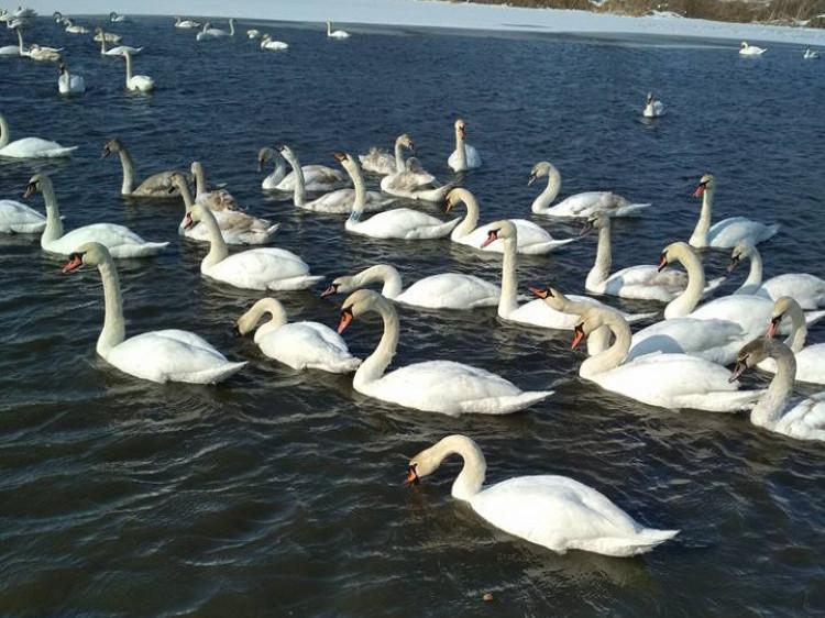 Красива зграя лебедів під Луцьком