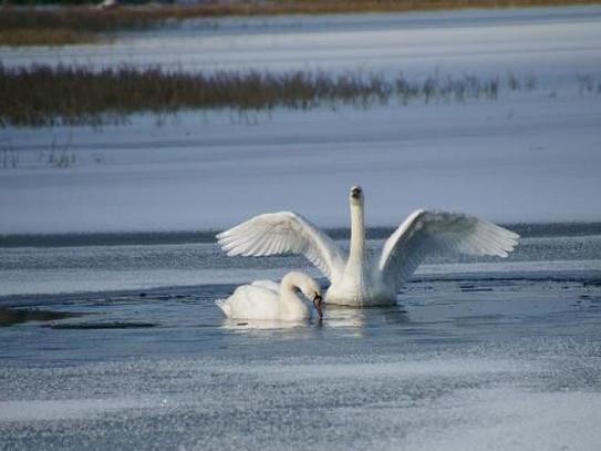 Пара білих лебедів