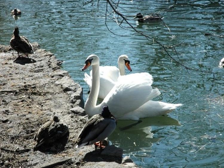 Лебеді всюди