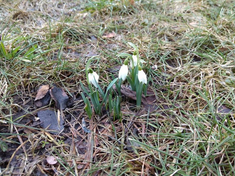 Ніжні весняні квіти милують око лучан