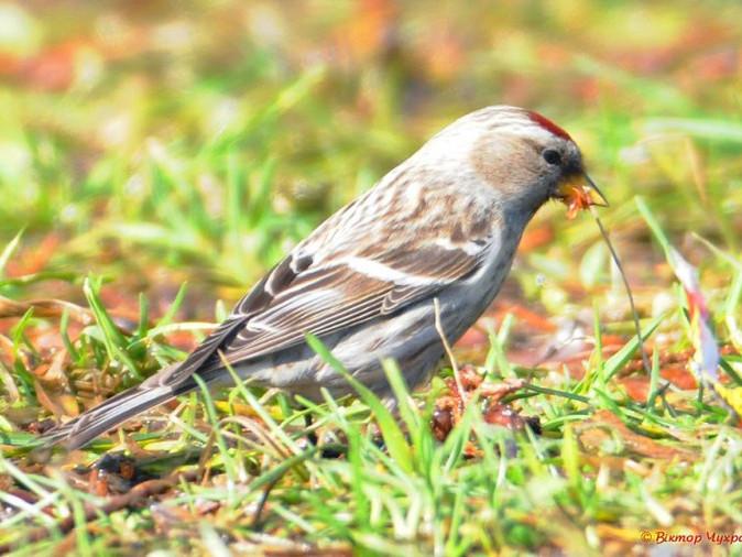Пташка чечевиця в «беретику»