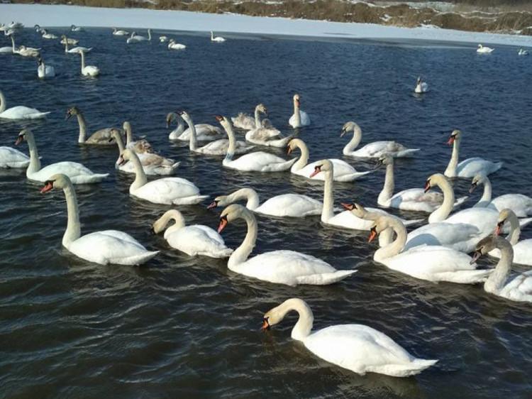 Лебеді в селі Крупа