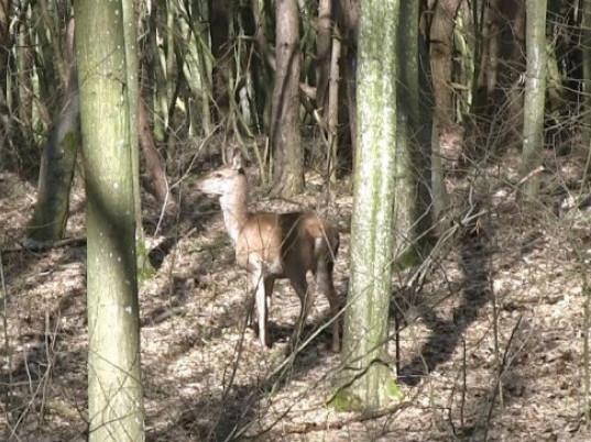 У лісництво поселили 12 самиць оленя благородного