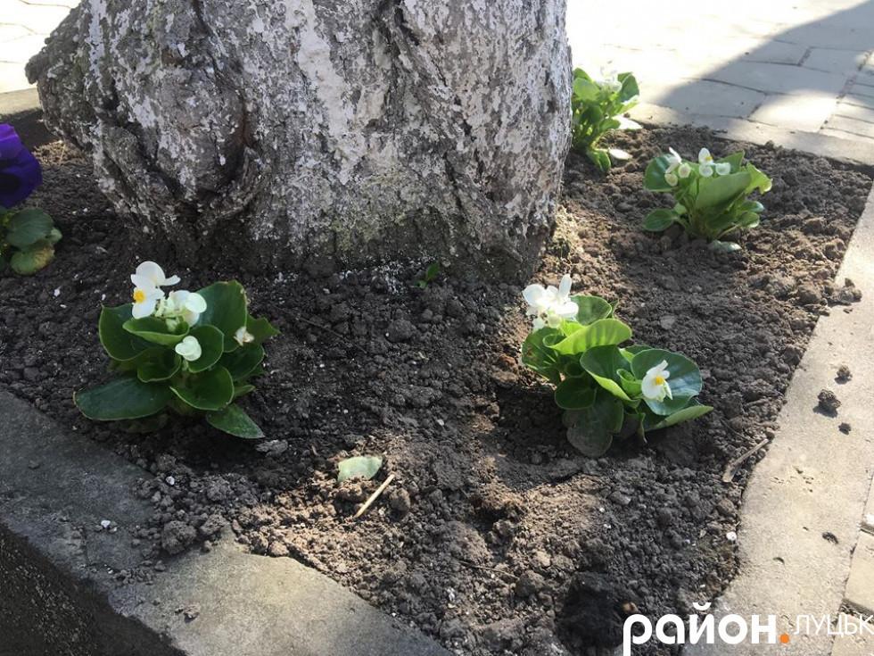 А ось це вже досаджені квіти