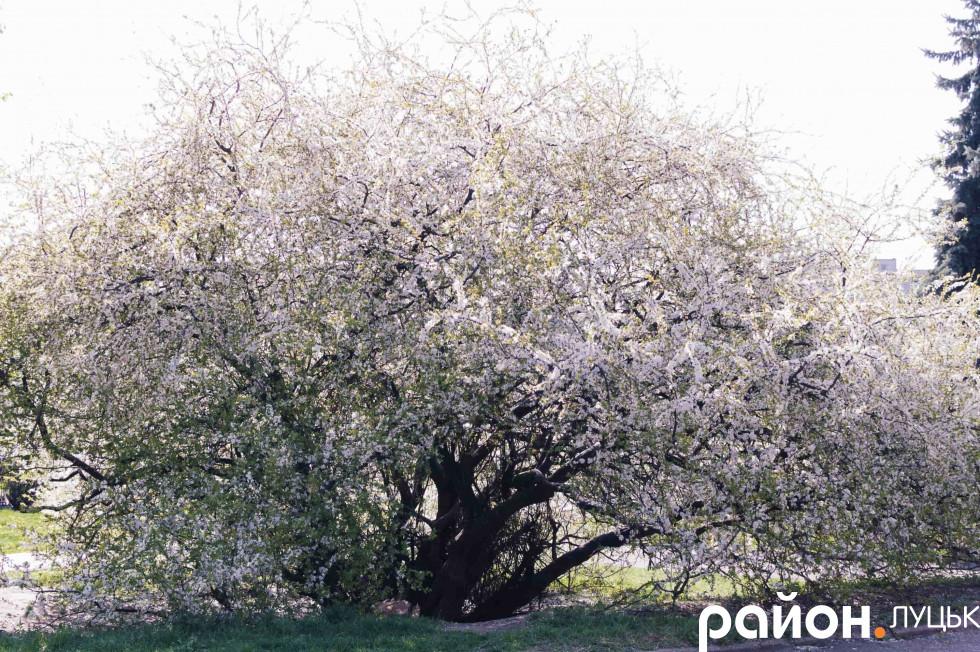 Чудо-дерево біля РАЦСу
