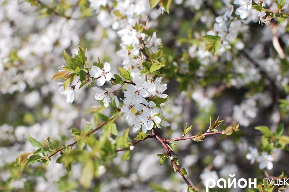 Рясний цвіт дерева