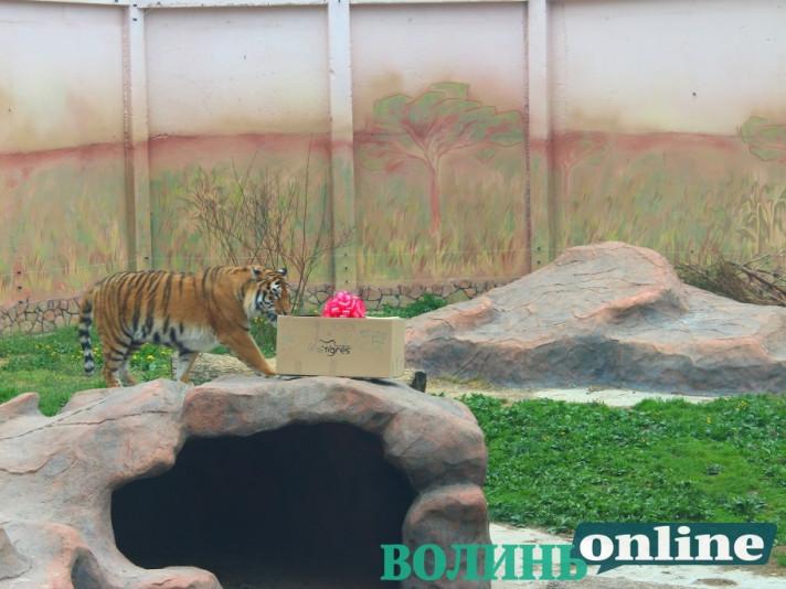 Тигр приймає подарунок