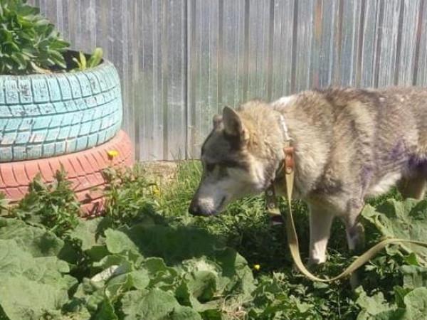 Собака Хаккі