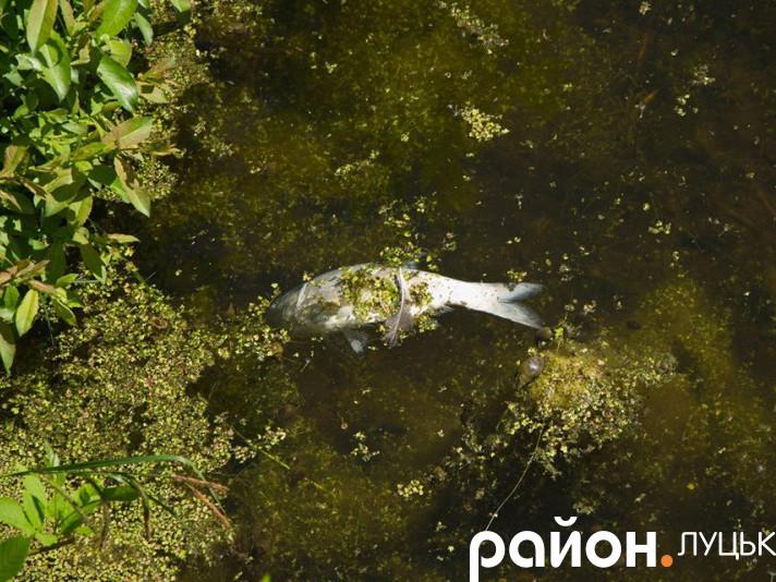 У каналахмеліоративної системи здохла риба