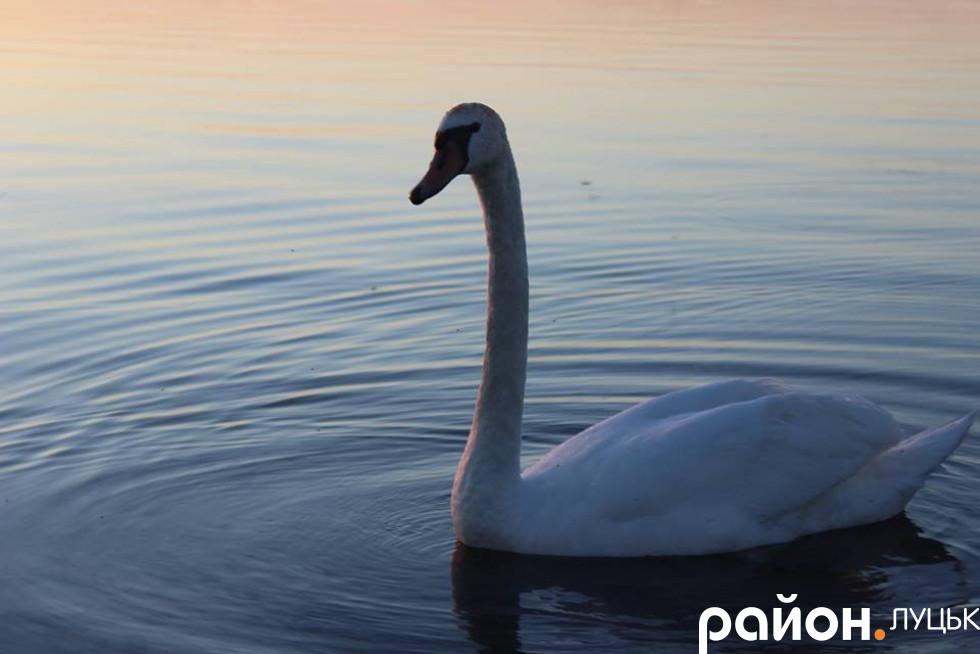 Лебеді зачаровували всіх присутніх