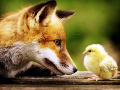Через лисицю господарі не дорахувались десятьох курчат і курки