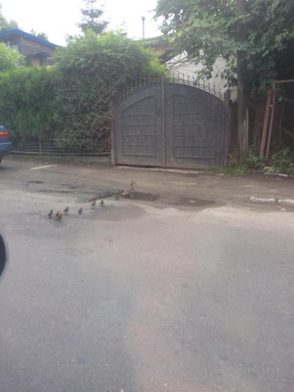 А це качки гуляють по Набережній