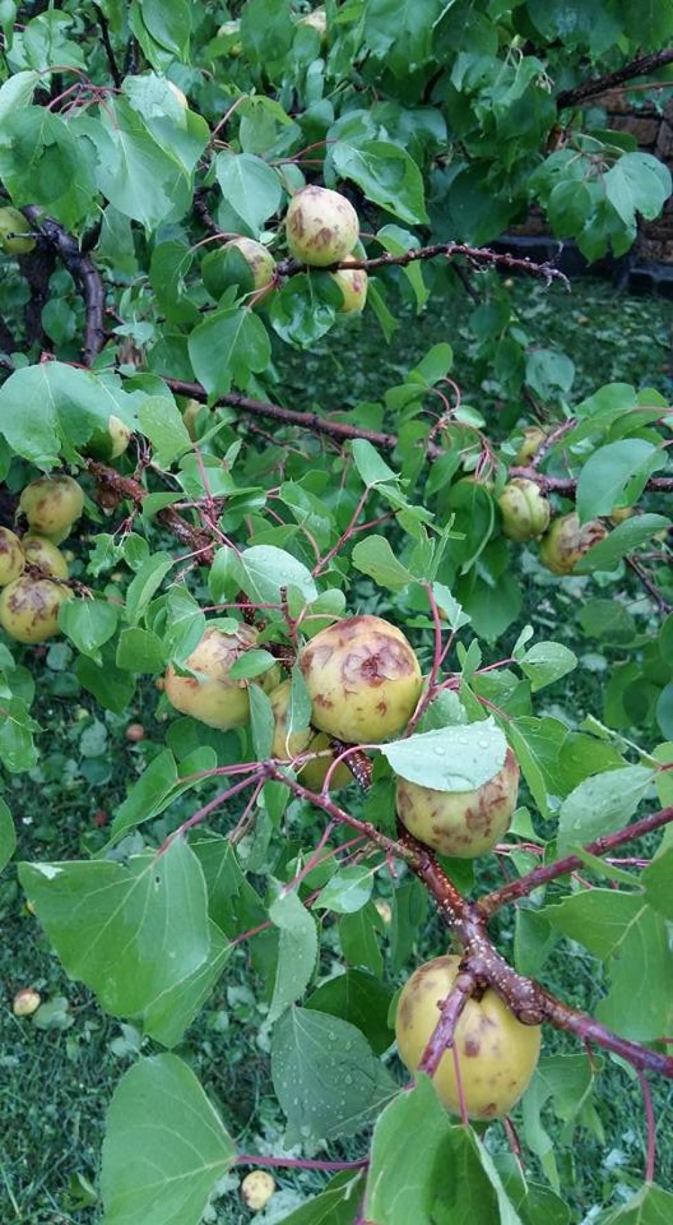 Град побив яблуні