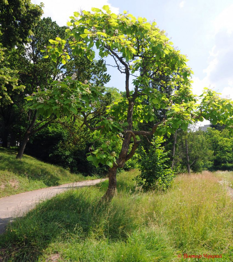 В Луцьку зацвіло рідкісне дерево