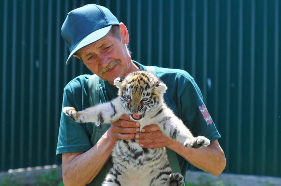 Тигричка вже веде себе як справжній хижак