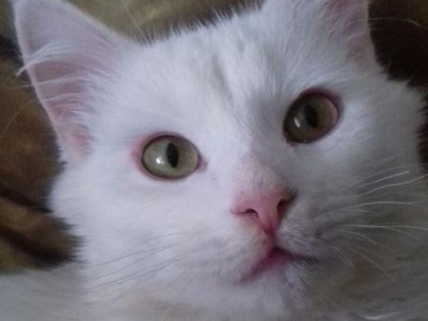 Розшукують білого котика