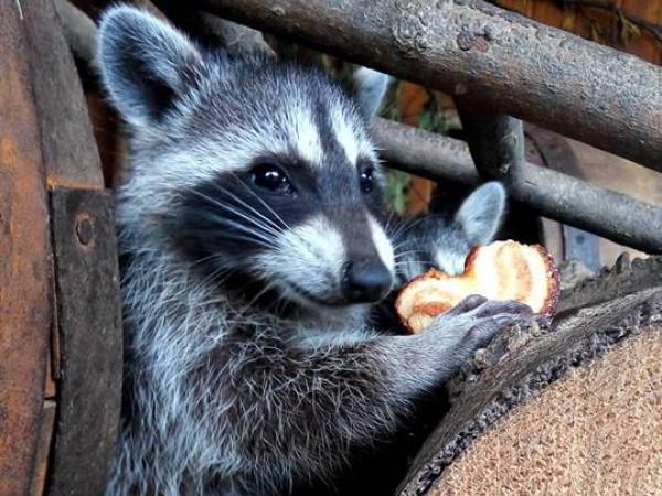 Єнотики люблять печиво