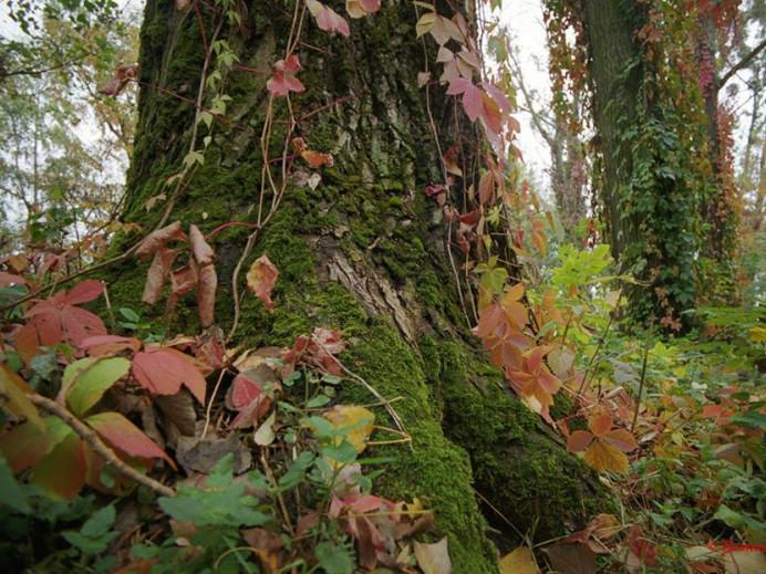 Могутні дерева луцького парку