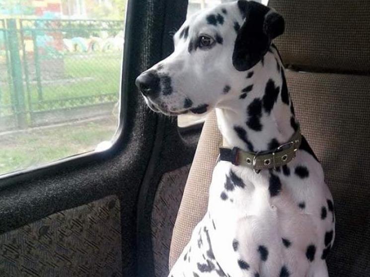 У Луцьку водій«Mercedes» збив собаку