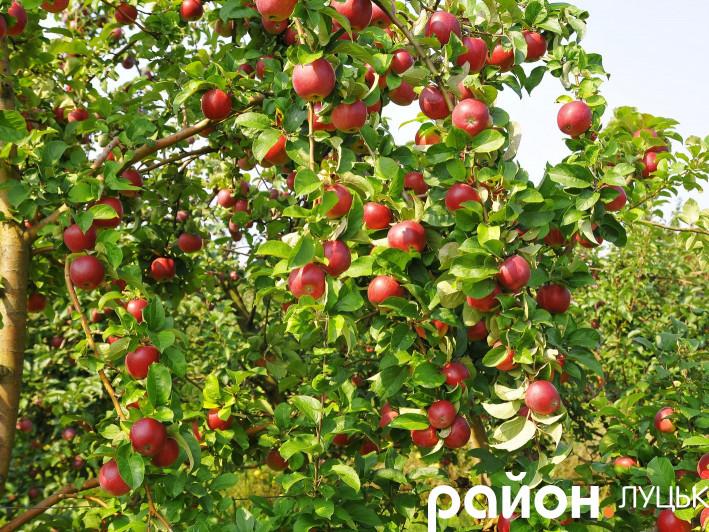 Яблука біля Луцька