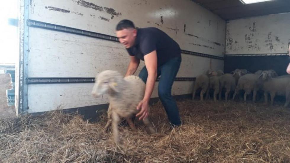 Протягом семи днів фермер мав би збудувати у своєму селі найкращу кошару для цих овець