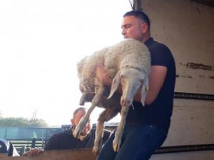 Фермер Олександр Джус отримав 30 виграних овець