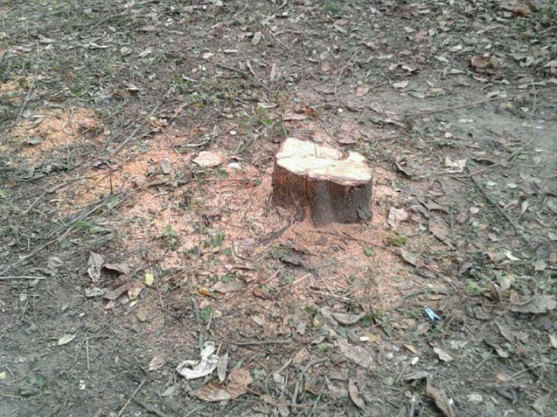 У Луцьку зрізали дерева