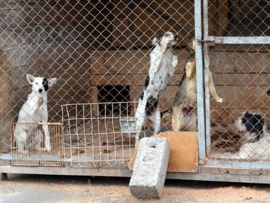 На деякі клітки встановили ґрати, бо собаки рвали сітки. Ці - жалісливо кидаються на бар'єр, коли бачать нових людей.