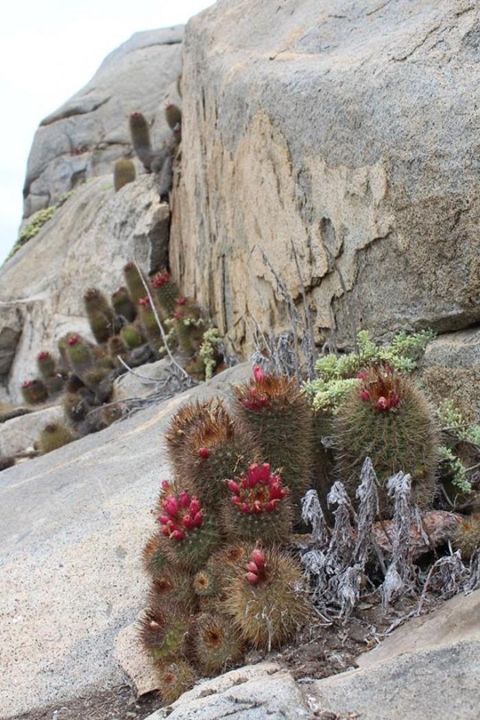 Пустельна флора Чилі