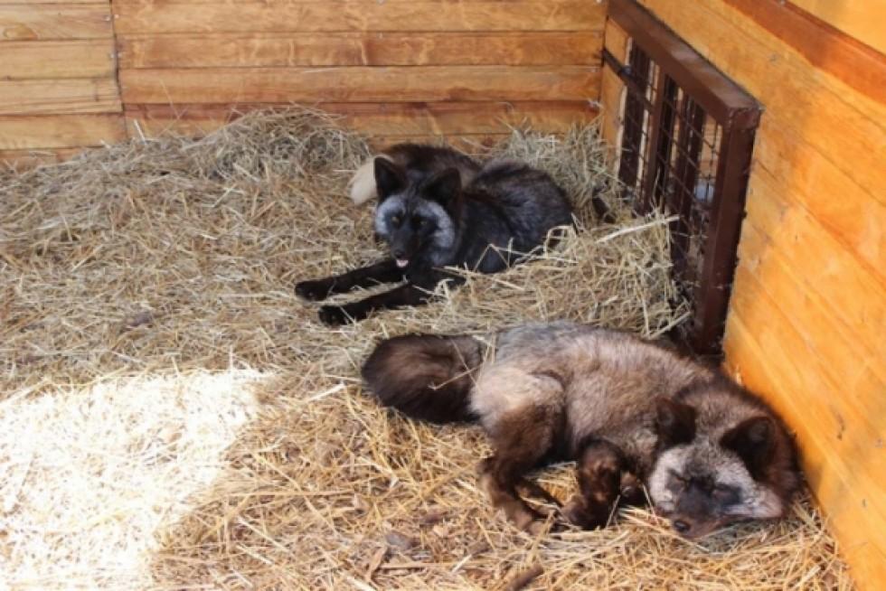 Ось так лисички виглядали після визволення з пересувного «пекла»